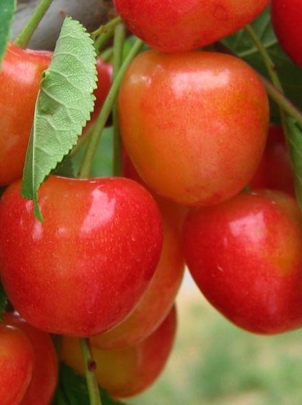 Prunus avium Bigarreau Napoleon (Kersenboom Bigarreau Napoleon, Napoleon kers)