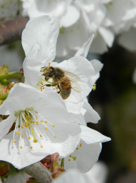 Prunus avium 'Viola' (Kersenboom)