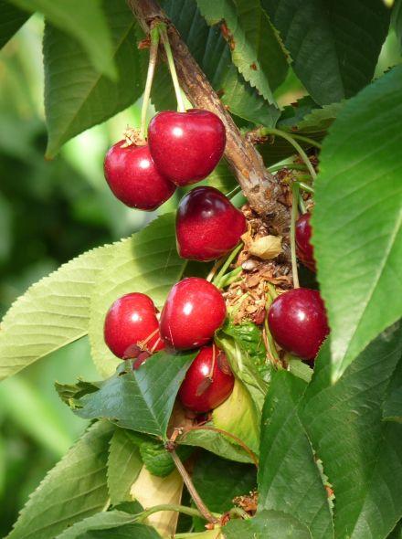 Prunus avium 'Stella' (Kersenboom)