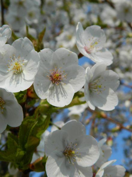 Lei-Kers Prunus avium 'Viola' (Leivorm kersenboom)