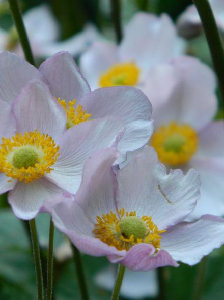 Anemone hybrida 'Elegans' (Herfstanemoon)