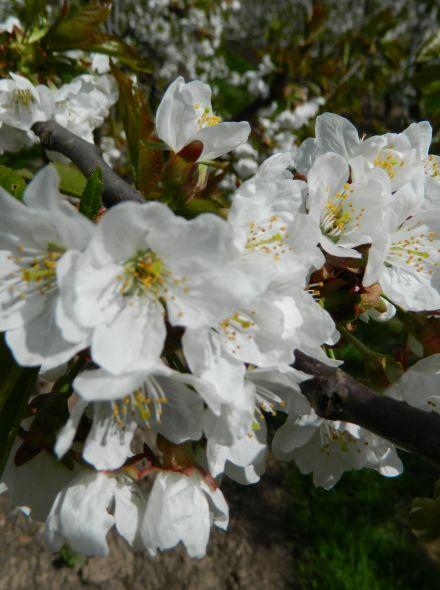 Lei-kers Prunus cerasus Meikers (Kersenboom Dubbele Meikers, leivorm)