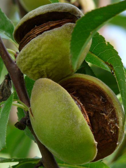 Prunus dulcis 'Robijn' (Amandel) - Laagstam in pot