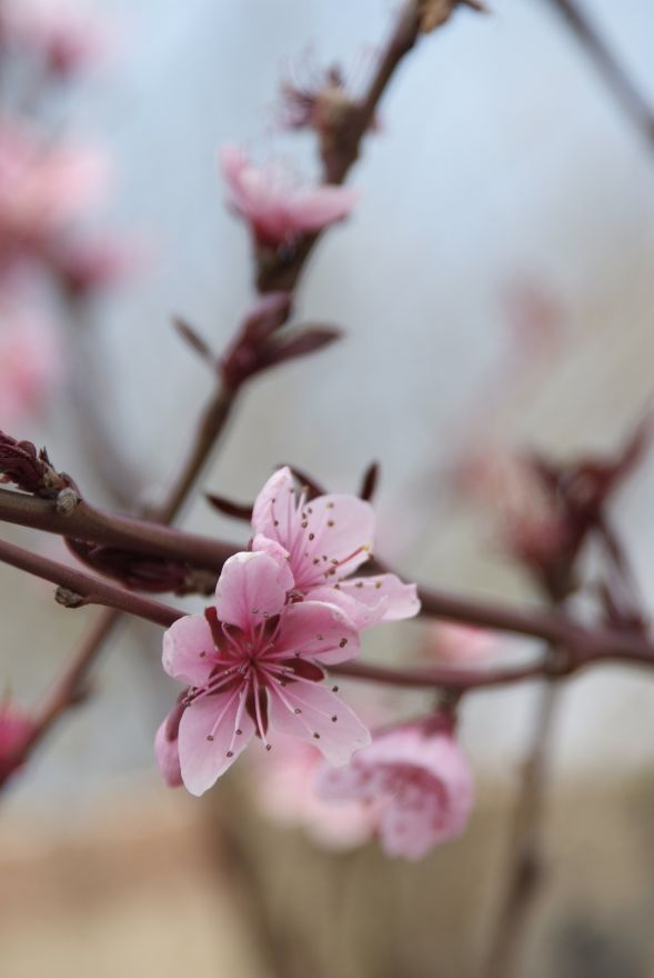 Prunus persica nucipersica 'Madame Blanchet' (Nectarine)