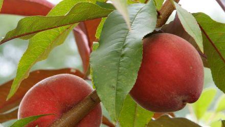 Prunus armeniaca (Abrikoos), Prunus dulcis (Amandelboom), Prunus persica (Perzik, Nectarine)