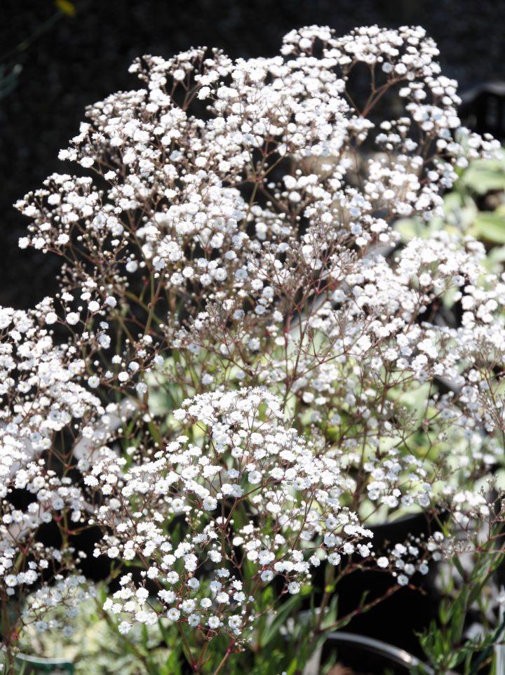Gypsophila paniculata 'Summer Sparkles' / 'Esm Chispa' - Gipskruid