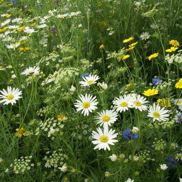 Hoe kun je het beste bloemenweide zaaien?