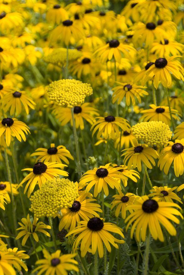 Vlinderborder geel (6 m2)