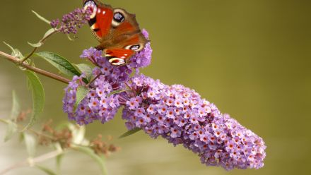Vlinderstruik (Buddleja)