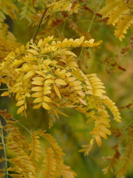 Leiboom Valse Chistusdoorn (Gleditsia triacanthos 'Sunburst')