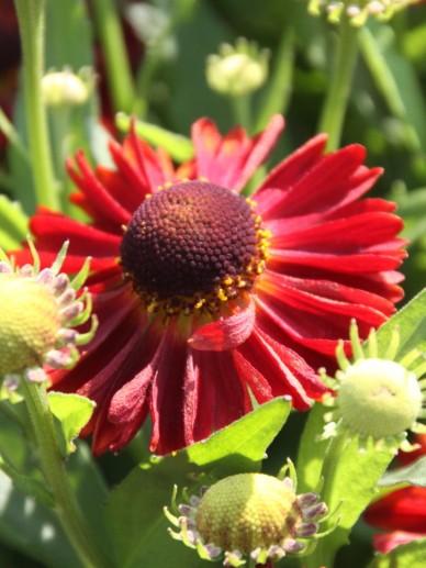 Helenium autumnale 'Mariachi Siesta'  - Zonnekruid