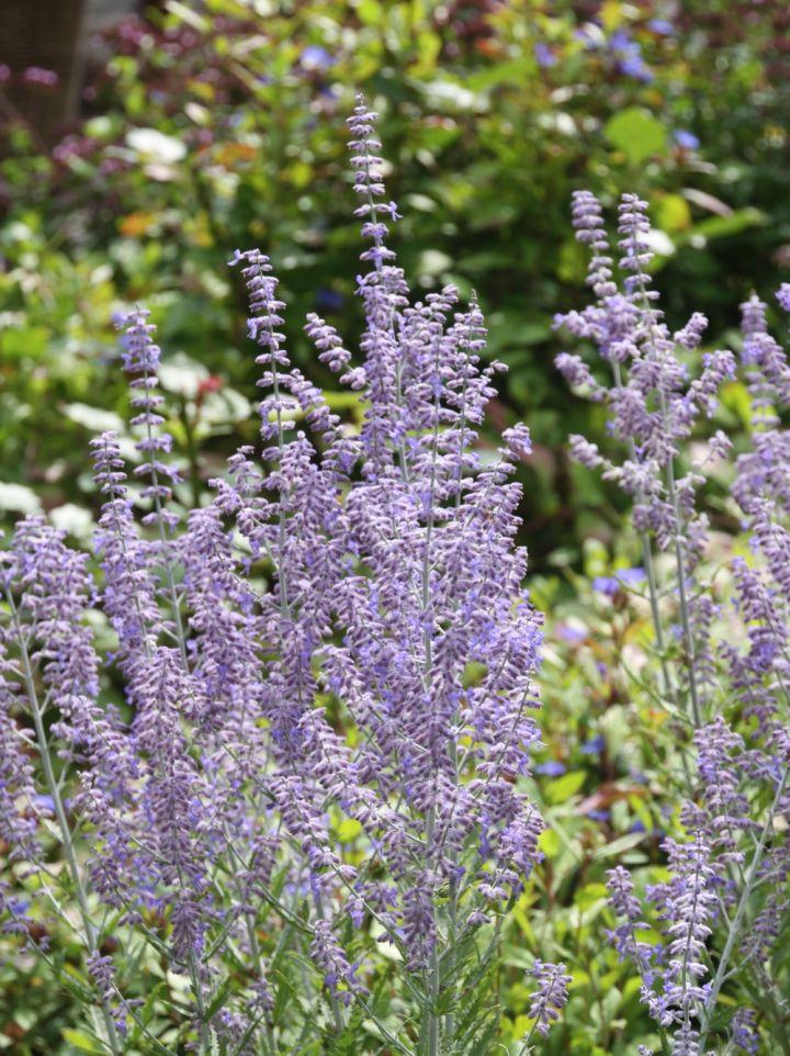 Perovskia atriplicifolia 'Filigran' - Reuzenlavendel, Russische salie, blauwspirea
