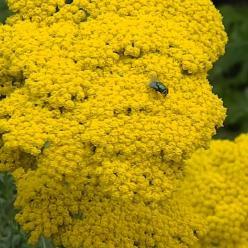 Achillea filipendulina 'Gold Plate' - Duizendblad