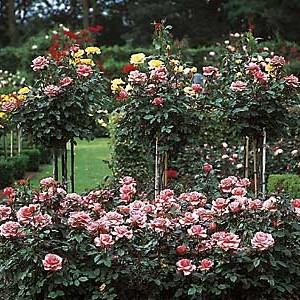 Geen tuin zonder rozen!