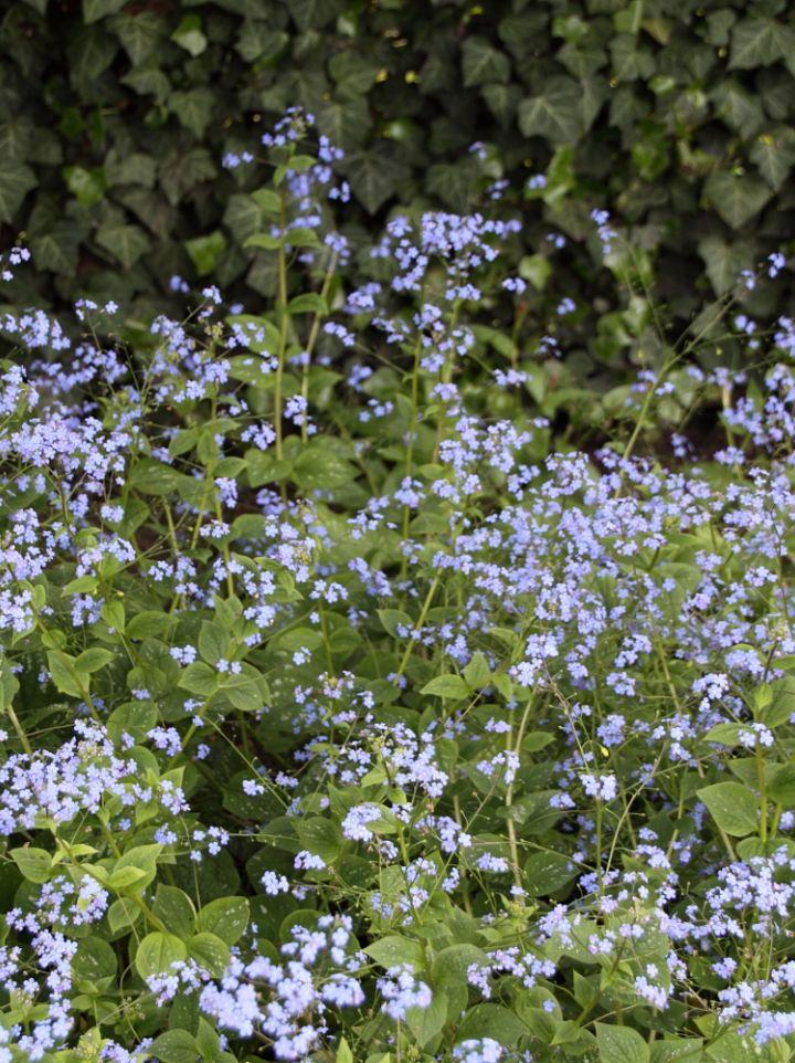 Brunnera macrophylla ´Langtrees´ - Kaukasisch vergeet-mij-nietje