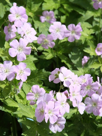 Geranium maculatum ´Chatto´ - Gevlekte ooievaarsbek