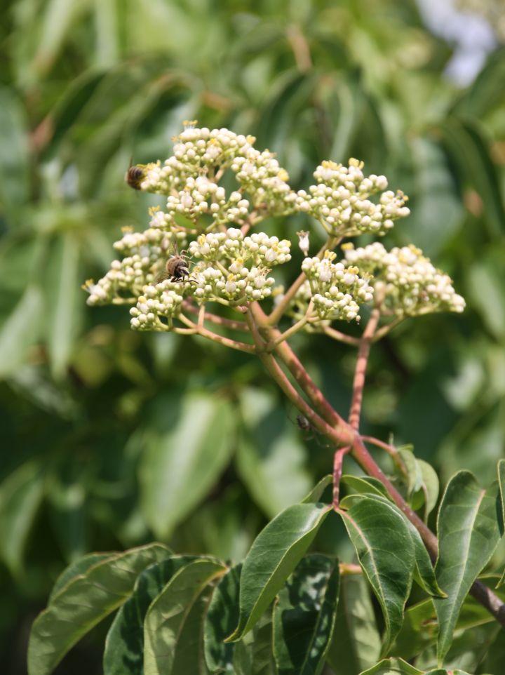 Tetradium daniellii - Bijenboom