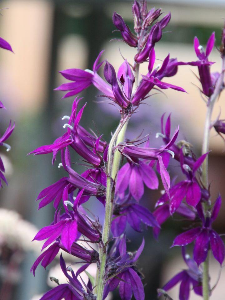 Lobelia × speciosa 'Hadspen Purple' - Prachtlobelia, vaste lobelia