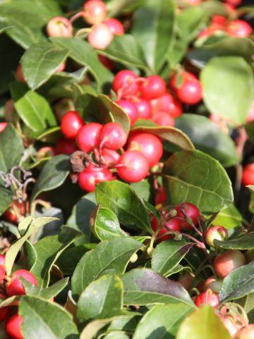 Gaultheria procumbens ´Big Berry´ - Bergthee