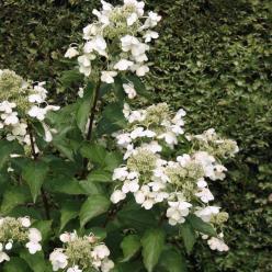 Hydrangea paniculata ´White Lady´ - Pluimhortensia, waterstruik