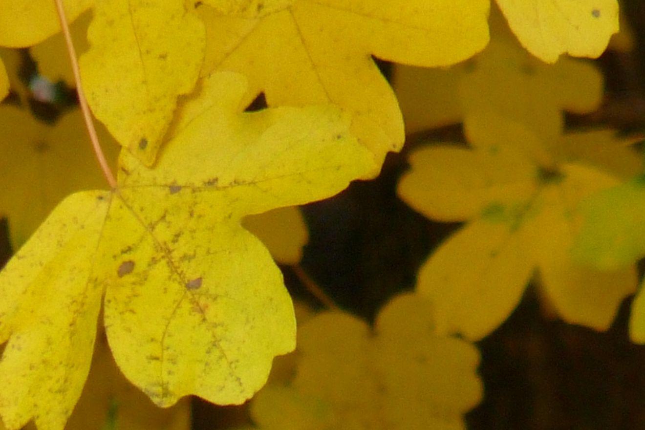 Acer campestre 'Nanum' (Veldesdoorn, Bolesdoorn)