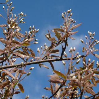 Amelanchier arborea 'Robin Hill' (Krentenboompje)