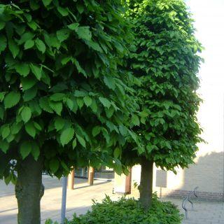 Carpinus betulus (Haagbeuk)
