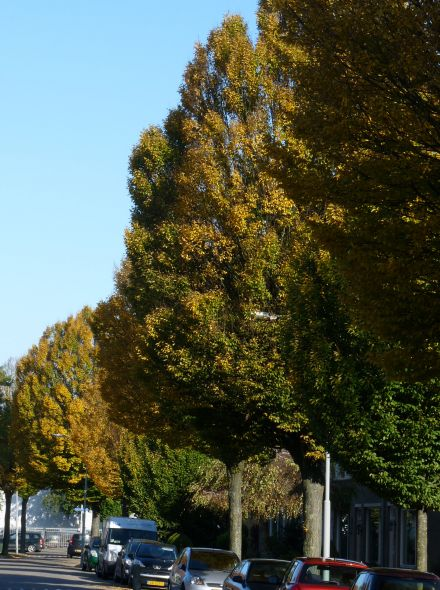 Carpinus betulus 'Fastigiata' (Zuil haagbeuk)