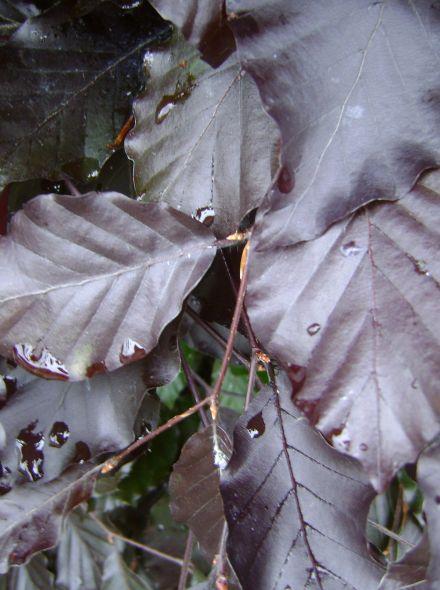 Fagus sylvatica 'Dawyck Purple' (Rode zuilbeuk)