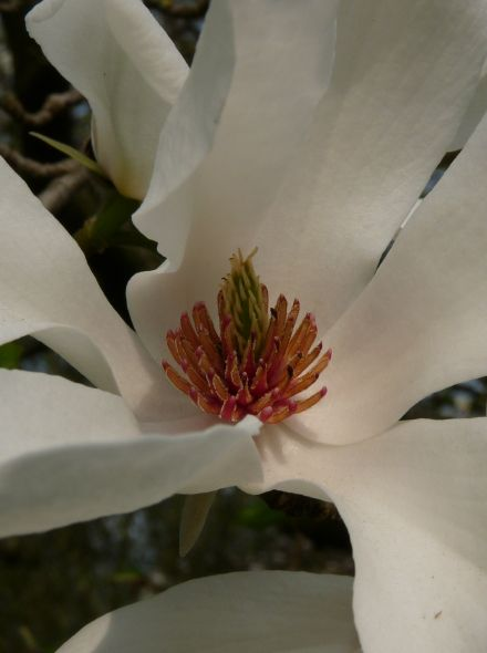 Magnolia kobus (Beverboom of Valse Tulpenboom)