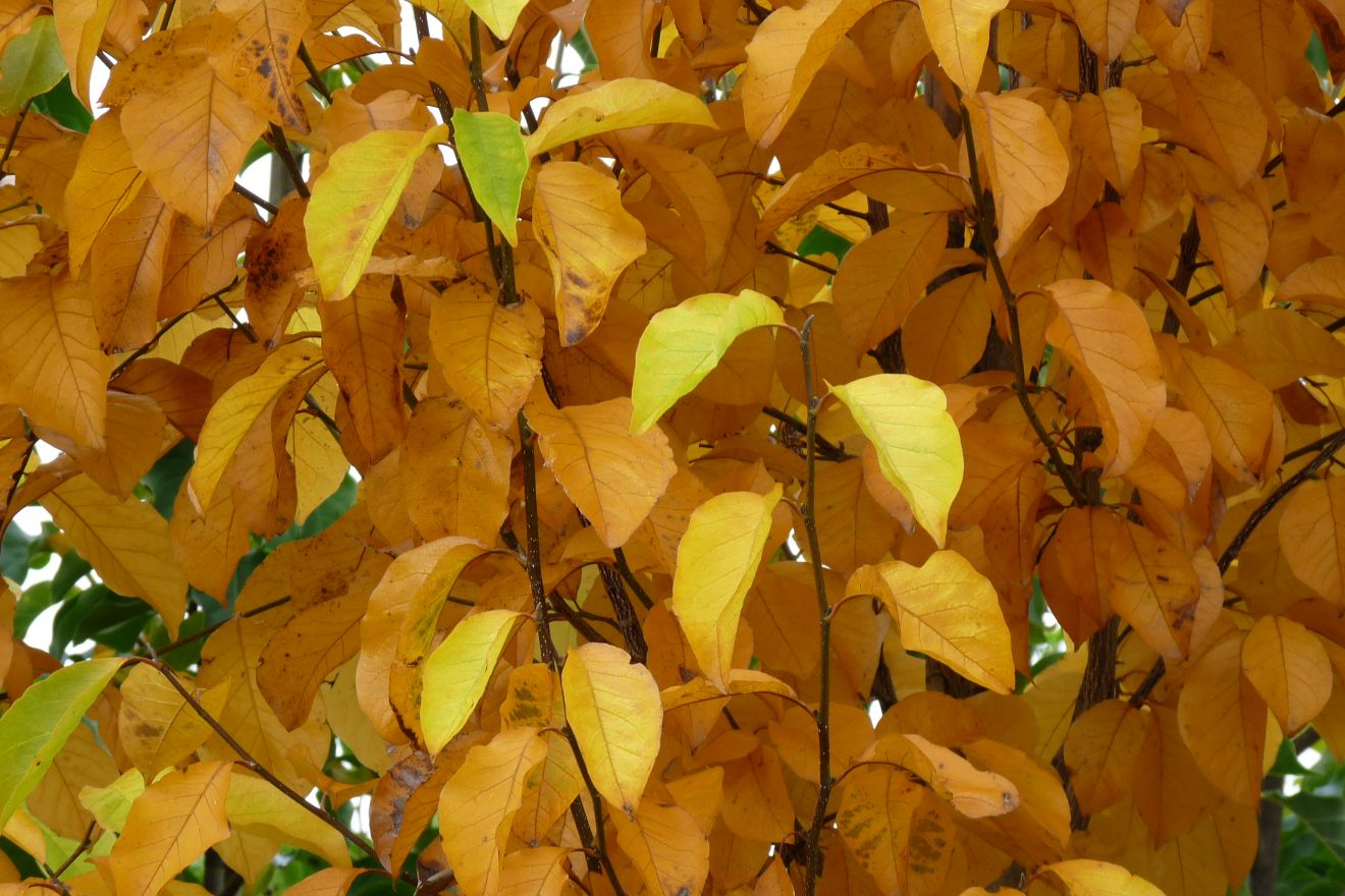 Magnolia kobus (Beverboom of Valse Tulpenboom)