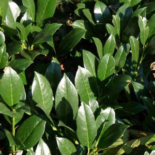Prunus laurocerasus 'Etna' (Laurierkers, Groenblijvende boom)