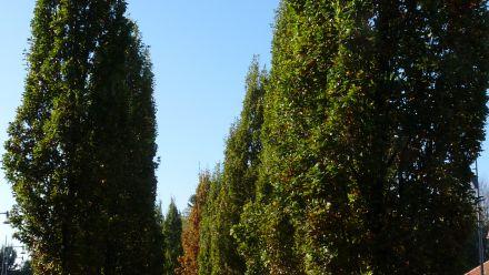 Zuilvormige bomen