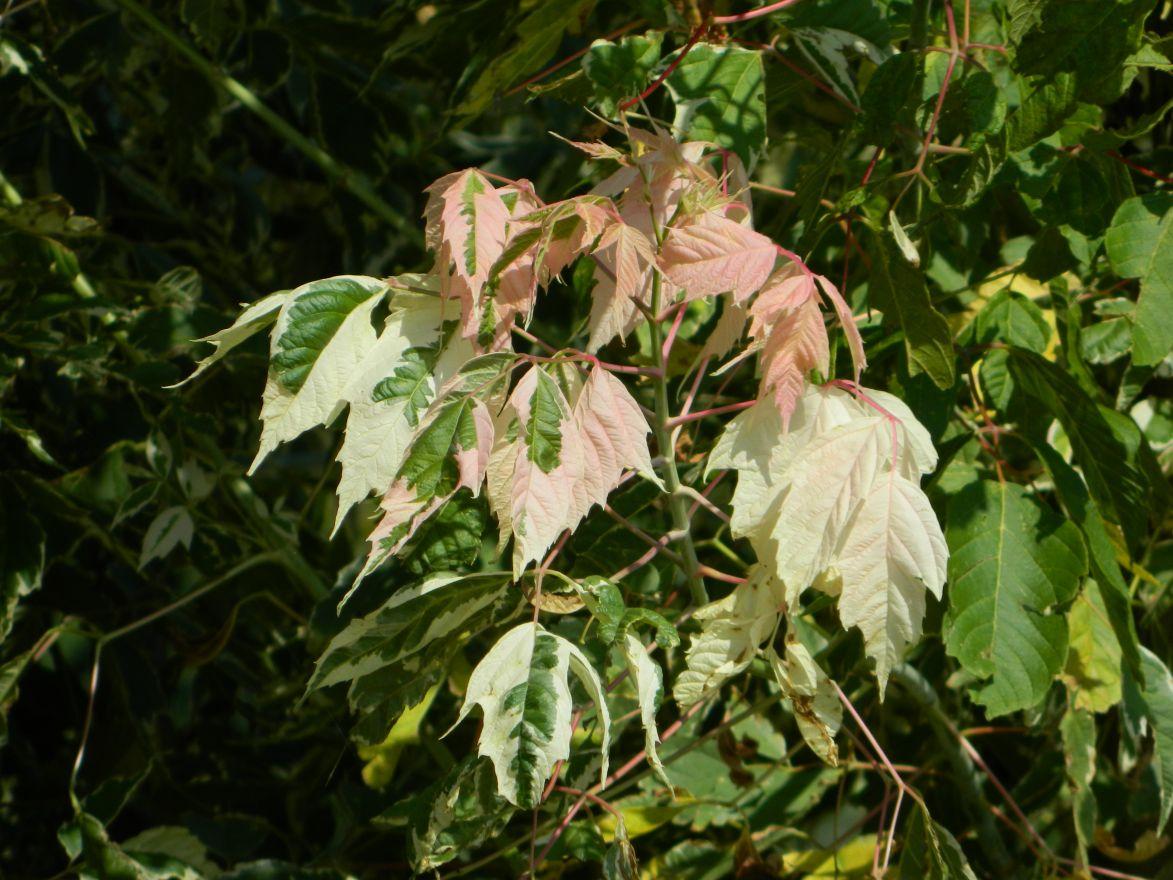 Acer negundo 'Flamingo' (Bontbladige Vederesdoorn, Californische esdoorn)