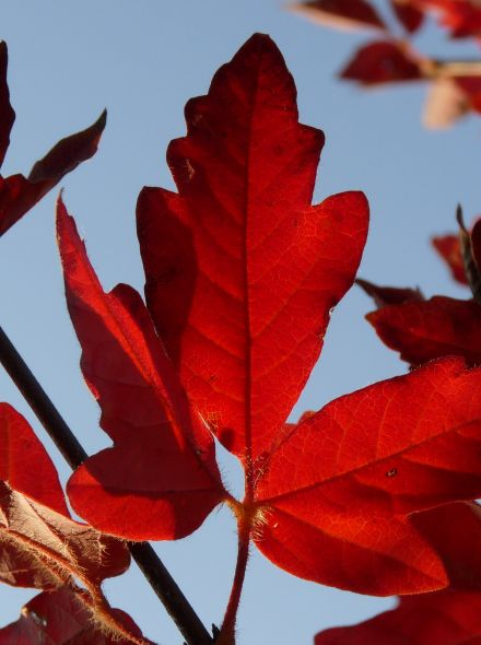 Acer griseum (Papieresdoorn)