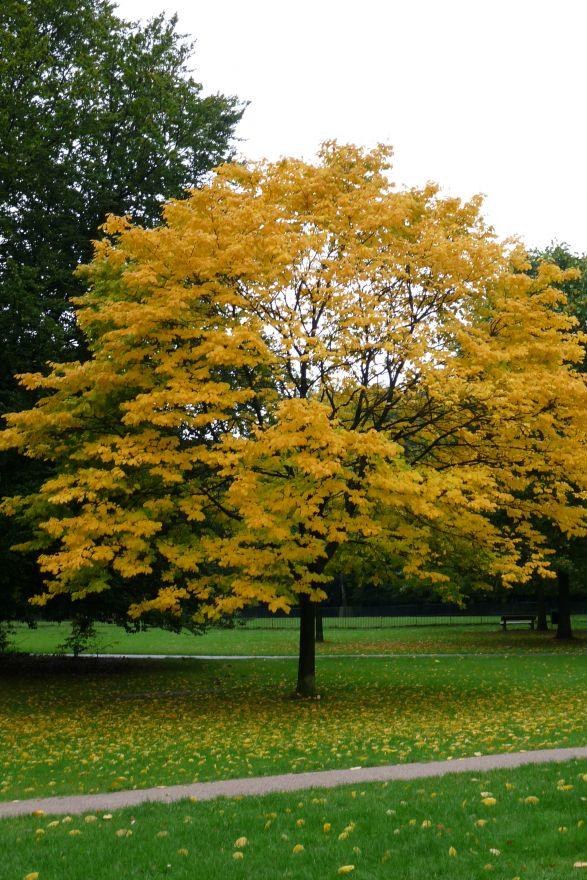 Acer platanoides (Noorse esdoorn)
