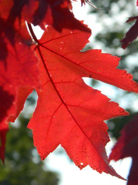 Acer platanoides 'Autumn Blaze' (Noorse esdoorn)
