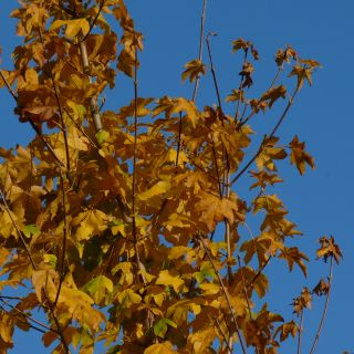 Acer platanoides 'Columnare' (Noorse esdoorn)