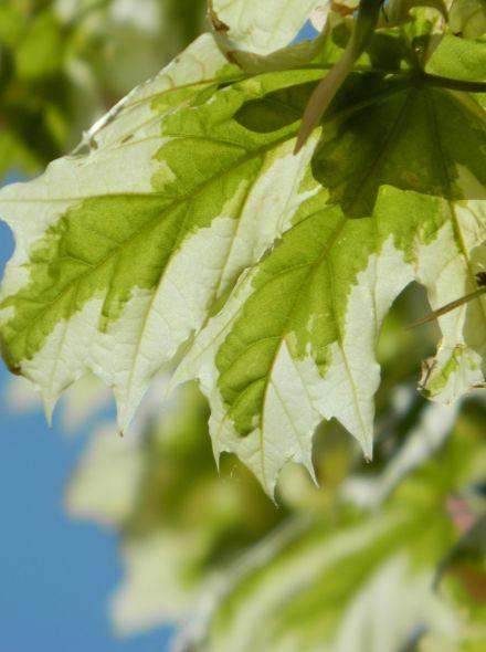 Acer platanoides 'Drummondii' (Noorse esdoorn)