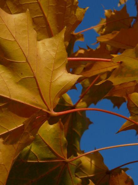 Acer platanoides 'Emerald Queen' (Noorse esdoorn)