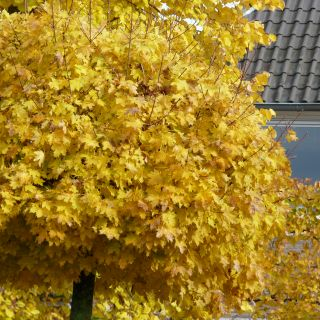 Acer platanoides 'Globosum' (Bolesdoorn, Bolvormige Noorse esdoorn)