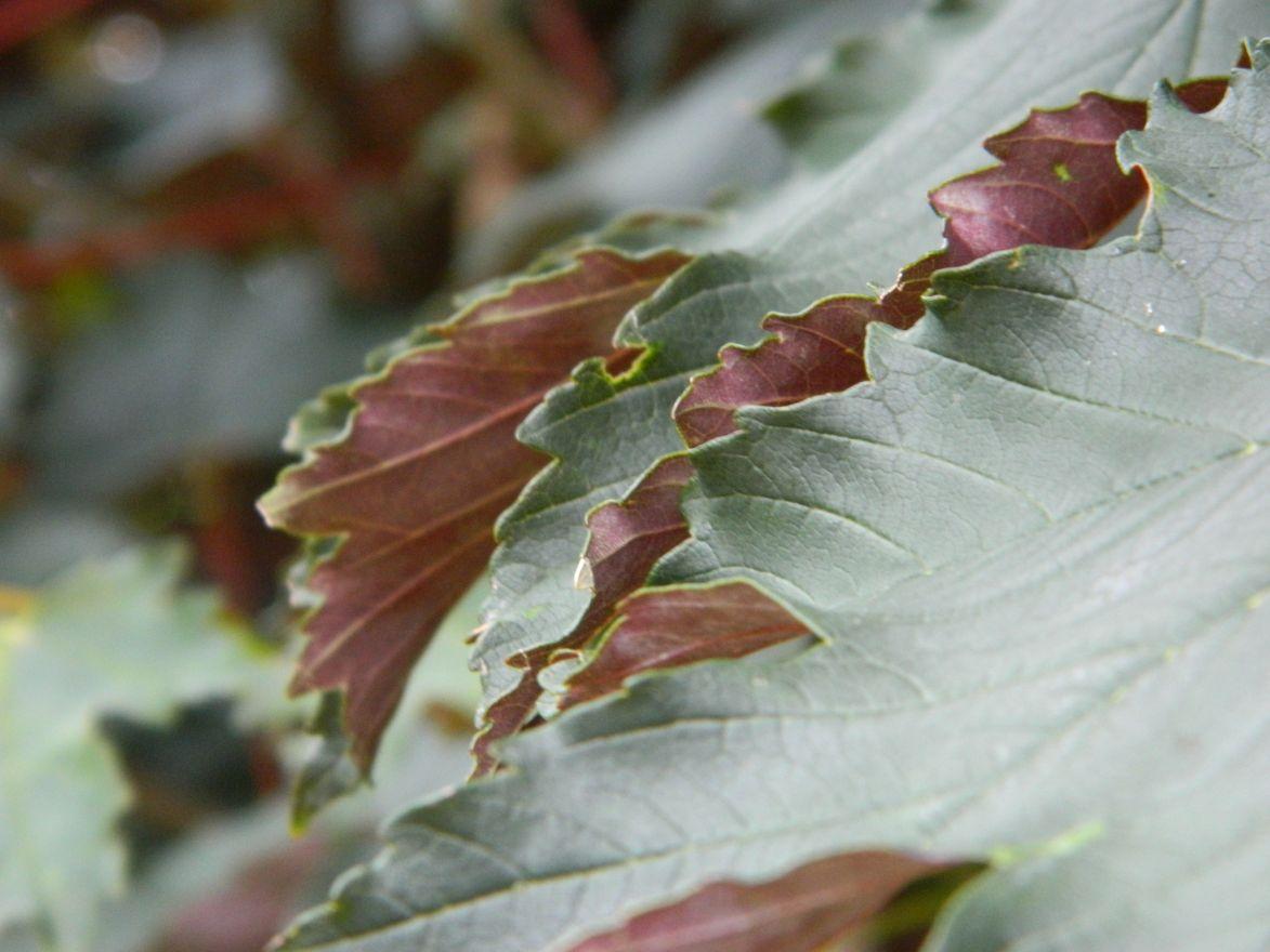Acer pseudoplatanus 'Spaethii' (Gewone esdoorn)