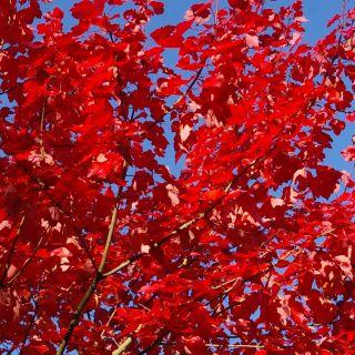 Acer rubrum 'October Glory' (Rode esdoorn)