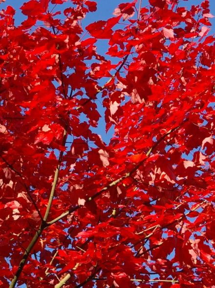 Acer rubrum 'October Glory' (Rode esdoorn)