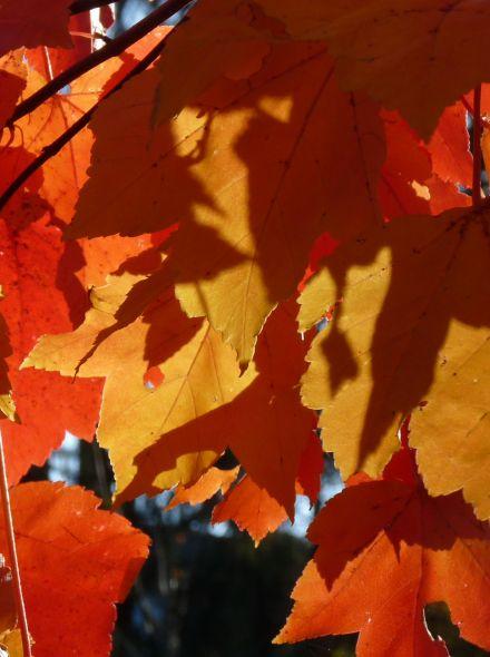 Acer rubrum 'Scanlon' (Zuilvormige rode esdoorn, Canadese esdoorn)