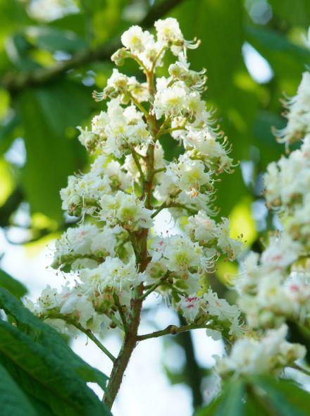 Aesculus hippocastanum (Witte paardenkastanje)