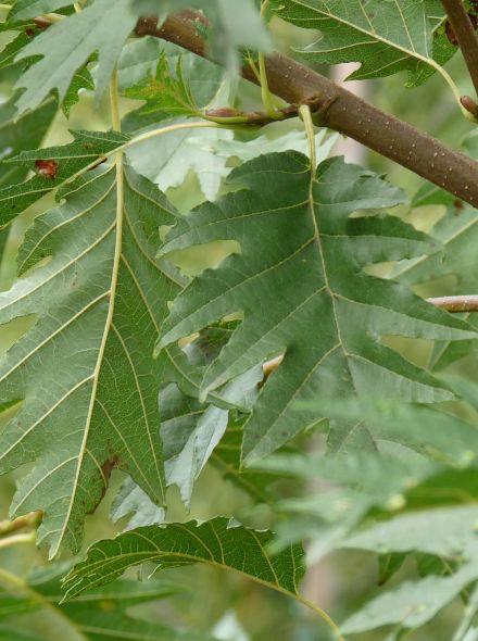 Alnus glutinosa 'Laciniata' (Zwarte els)