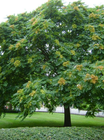 Ailanthus altissima (Hemelboom)