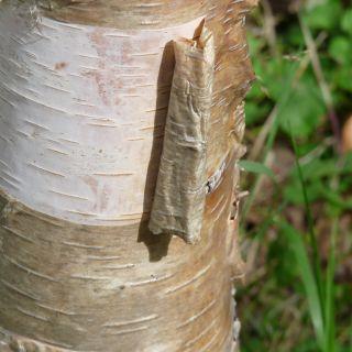 Betula papyrifera (Papierberk)