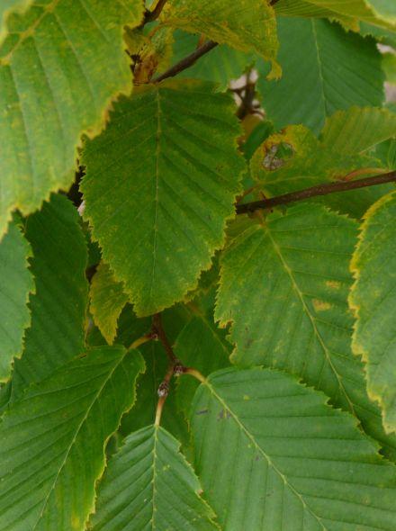 Carpinus betulus 'Frans Fontaine' (Zuilhaagbeuk, zuilvormige haagbeuk)